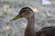 Mallard Posters - Duck - Animal - 01137 Poster by DC Photographer