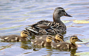 Baby Mallards Photo Posters - Duck Soup 4 Poster by Fraida Gutovich