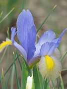 Rebecca Overton - Dutch Iris