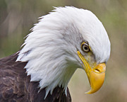 Bald Eagle Framed Prints - Eagle Eye Framed Print by Randy Hall