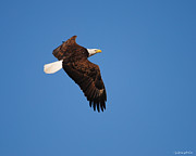 Eagle Metal Prints - Eagle in Flight 2 Metal Print by Jai Johnson