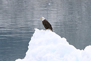 Shoal Hollingsworth - Eagle on Ice