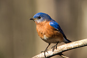 Entering Prints - Eastern Bluebird Male 7 Print by Douglas Barnett