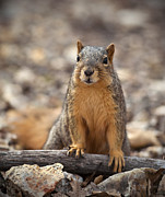 Eastern Fox Squirrel Framed Prints - Eastern Fox Squirrel Framed Print by Brandon Alms