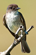 Flycatcher Digital Art - Eastern Phoebe Digital Watercolour 7925 by Paul Reeves