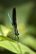 Jewel Digital Art Prints - Ebony Jewelwing Damselfly Print by Christina Rollo