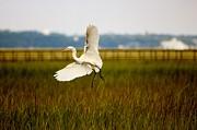 Thomas Photography  Thomas - Egret flying through the marsh