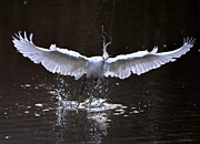 Ursula Lawrence - Egret in Flight