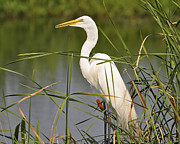 White Egret Posters - Egret in the Cattails Poster by Al Powell Photography USA
