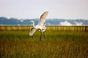 Thomas Photography  Thomas - Egret in the Marsh