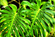 Tropical Plants Prints - Elephant Ears Print by Cheryl Young