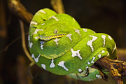 French Guiana Prints - Emerald Tree Boa Print by David Davis