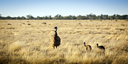 Australian Open Metal Prints - Emu Chicks Metal Print by Tim Hester