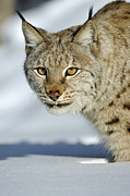 Lynx Sp Framed Prints - Eurasian Lynx In Snow Framed Print by Willi Rolfes
