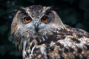 Nick  Biemans - European Eagle Owl