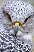 Falcon Print by Bryan Hanson