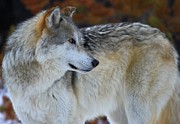 Wolf Portrait Prints - Fall Colors Print by Adam Jewell