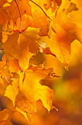 Sun Shine Posters - Fall maple leaves Poster by Elena Elisseeva
