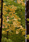 Ralser Prints - Fall Maples Print by Steven Ralser