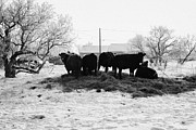 Harsh Conditions Prints - feed and fresh grass laid out for cows on winter farmland Forget Saskatchewan Canada Print by Joe Fox