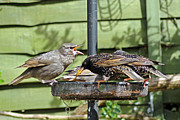 Starlings Metal Prints - Feeding Time Metal Print by Tony Murtagh