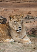 Predator Photos - Female African Lion by Cathy Lindsey
