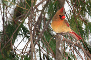 Pine Tree Prints - Female Cardinal Print by Everet Regal
