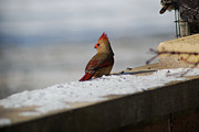 Wanda Jesfield - Female Cardinal in Winter