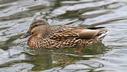 Ken Keener - Female Mallard Duck