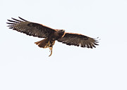 Morph Photo Prints - Female Red-Tailed Hawk in flight Print by Carl Jackson