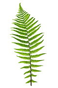 Shapes Photo Prints - Fern leaf Print by Elena Elisseeva
