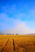 Bread Originals - Field of wheat. with morning mist  by Tommy Hammarsten