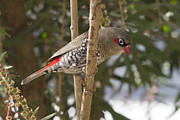 Serene Maisey - Fire Tail Finch