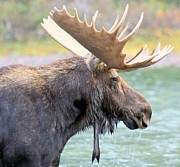 Bull Moose Photo Posters - Fishercap Lunch Poster by Adam Jewell