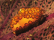 Brian Sevald - Flamingo Tongue