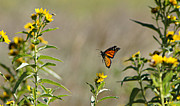 Wildlife Celebration Metal Prints - Flight of the Monarch Metal Print by Thomas Bomstad