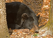 Sleeping Animal Posters - Florida Black Bear Poster by Millard H. Sharp