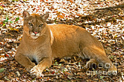 Florida Wildlife Posters - Florida Panther Poster by Millard H. Sharp
