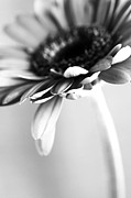 Flowers Posters Prints - Flower BW Print by Falko Follert