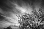 Almond Posters - Flowering almond Poster by Guido Montanes Castillo