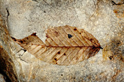 Denise Harrison - Fossilized Leaf