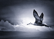 Albatross Art - Freedom by Todd Bielby