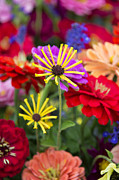Zinnias Photos - Fresh Flowers by John Greim