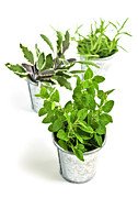 Fresh Green Metal Prints - Fresh herbs in pots Metal Print by Elena Elisseeva