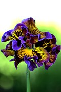 Joy Watson Photography Framed Prints - Frilly Pansy Framed Print by Joy Watson