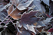 Life Changing Framed Prints - Frosted Maple Leaves Framed Print by Aaron Spong