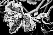 Frost Metal Prints - Frosty flower Metal Print by Elena Elisseeva