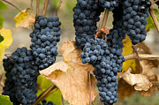 Grapevine Red Leaf Photo Prints - Gamay Noir Grapes Print by Kevin Miller