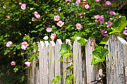 Flower Blooming Photos - Garden fence with roses by Elena Elisseeva