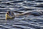 Green Sea Turtle Photo Framed Prints - Gasp for Air Framed Print by Douglas Barnard